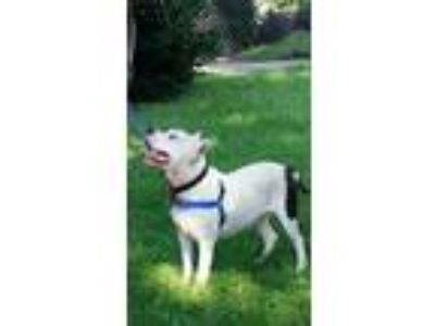 Adopt Ceasar a White - with Black American Staffordshire Terrier / Mixed dog in
