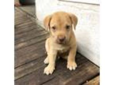 Adopt Max a Tan/Yellow/Fawn Labrador Retriever / Mixed dog in Miami