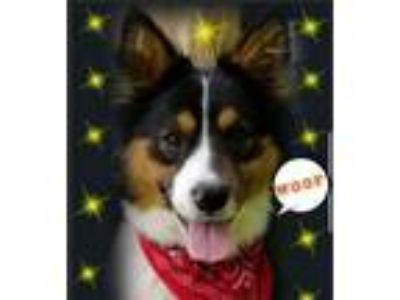 Adopt Vaughn -Foster Needed 5/17 a Corgi, Shetland Sheepdog / Sheltie