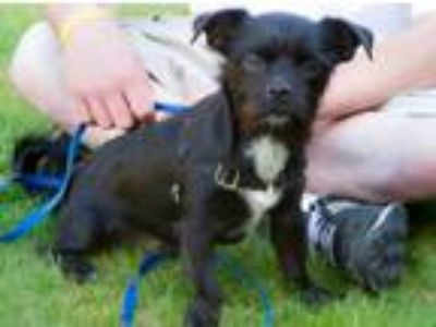 Adopt Mac a Black - with White Terrier (Unknown Type, Small) / Pomeranian dog in