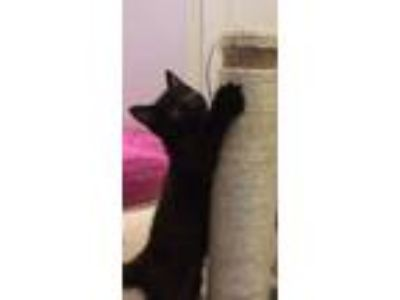 Adopt Phlox Kitten a All Black Bombay / Mixed (short coat) cat in Knoxville