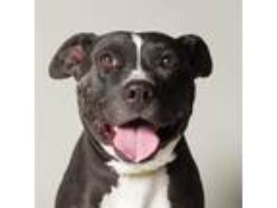 Adopt SMOKY a Black - with White American Pit Bull Terrier / Mixed dog in Las