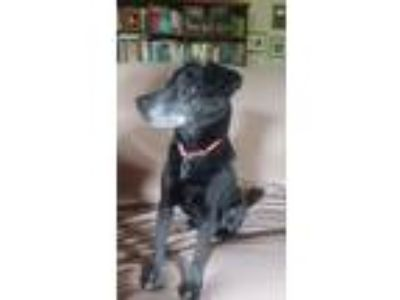 Adopt Monroe a Black Terrier (Unknown Type, Small) / Mixed dog in Batesville
