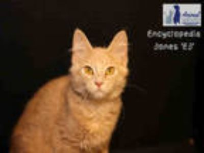 Adopt JONES a Cream or Ivory Domestic Shorthair / Mixed (short coat) cat in