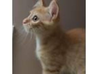 Adopt Tosh a Orange or Red Domestic Shorthair cat in Woodstock, GA (25648360)