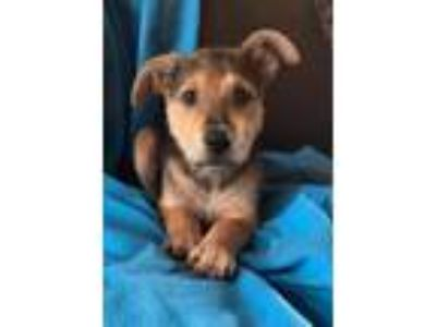 Adopt Dudley - ADOPTED a Tan/Yellow/Fawn - with Black Shepherd (Unknown Type) /