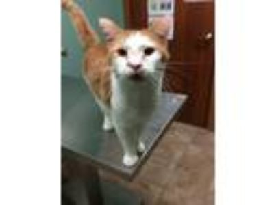 Adopt DC a Domestic Short Hair