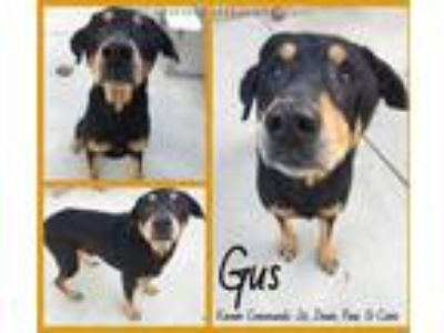 Adopt GUS a Black - with Tan, Yellow or Fawn Doberman Pinscher / Rottweiler /
