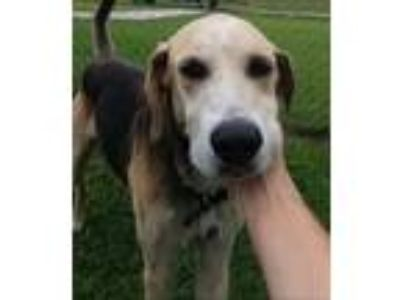 Adopt BEAU a Hound (Unknown Type) / German Shepherd Dog / Mixed dog in Metter