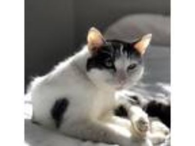 Adopt Blaze a White Domestic Shorthair / Domestic Shorthair / Mixed cat in