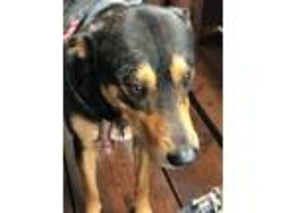 Adopt Traveler a Black - with Tan, Yellow or Fawn German Shepherd Dog /