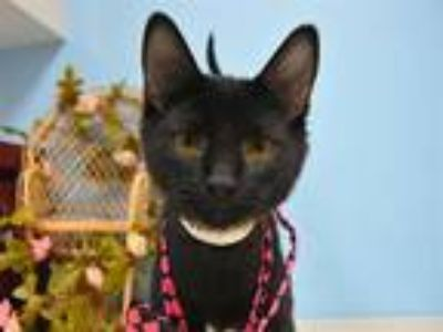 Adopt Jesse a Domestic Shorthair / Mixed cat in Portland, OR (25879876)