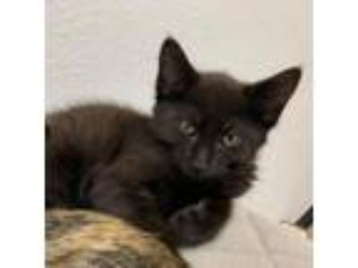 Adopt Olaf a Domestic Longhair / Mixed cat in Pleasant Hill, CA (25294251)