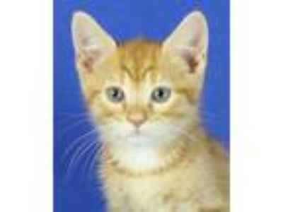 Adopt Cajun a Domestic Short Hair, Tabby