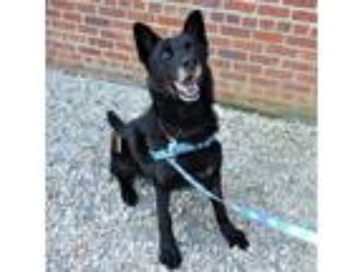 Adopt Tsume a Black German Shepherd Dog / Mixed dog in Richmond, VA (25664503)