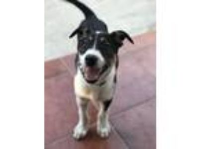 Adopt Lulu a Black - with White Border Collie / Labrador Retriever dog in