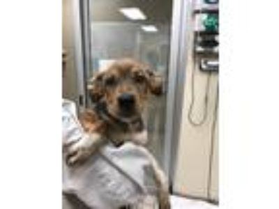 Adopt Haven a Shepherd (Unknown Type) / Spaniel (Unknown Type) / Mixed dog in