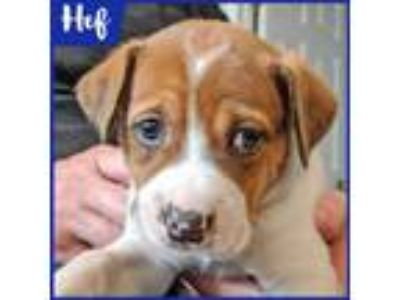 Adopt Hef a Tan/Yellow/Fawn - with White Labrador Retriever dog in Palatine
