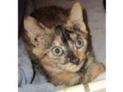 Adopt Alberta a Orange or Red Domestic Shorthair / Domestic Shorthair / Mixed