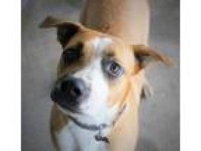 Adopt Jack Frost a Boxer / Labrador Retriever / Mixed dog in Ocala