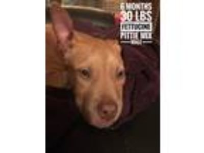 Adopt Fettucine a Brown/Chocolate Pit Bull Terrier / Mixed dog in Wilson