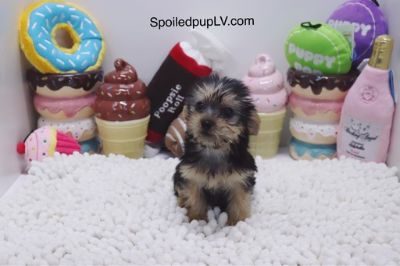 Yorkshire Terrier PUPPY FOR SALE ADN-99824 - Yorkshire Terrier  Basil  Male