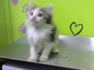 Adopt SITKA a Domestic Short Hair
