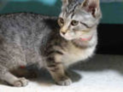 Adopt JESSIE a Brown Tabby Domestic Shorthair / Mixed (short coat) cat in Waco