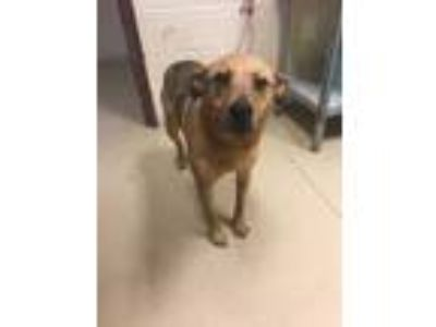 Adopt Sunshine a Brown/Chocolate Terrier (Unknown Type, Small) / Shepherd