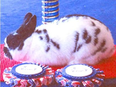 RABBITS POLISH, MINI REX, FROM AWARD WINNING ...