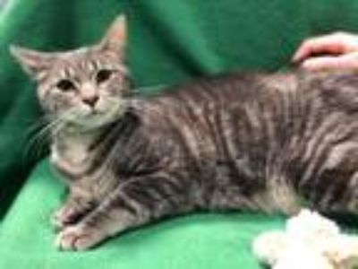 Adopt Rosemary A1790393 a Domestic Short Hair