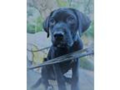 Adopt Clover PC a Black Labrador Retriever / Great Dane / Mixed dog in Rosemont