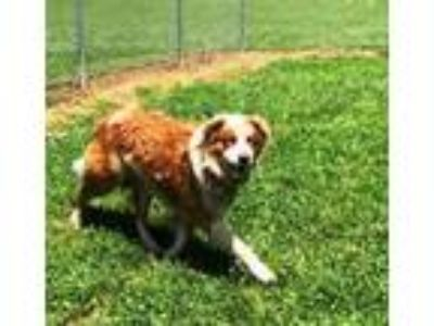 Adopt ADOPTION PENDING Bosco a Australian Shepherd, Golden Retriever
