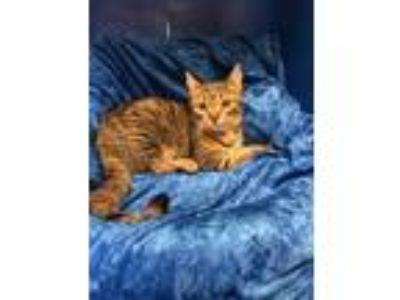 Adopt Batina a Bengal, British Shorthair