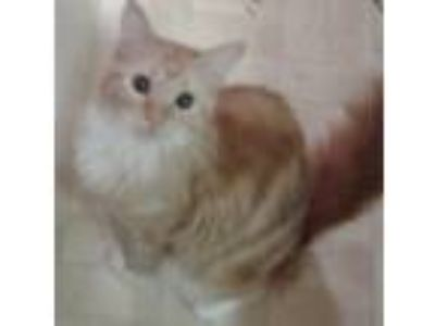 Adopt Nala a Orange or Red Tabby Domestic Longhair / Mixed cat in San Angelo
