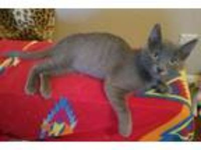 Adopt Ash a Russian Blue cat in Parlier, CA (25787396)