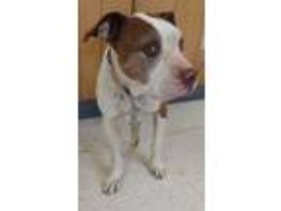 Adopt Daisy a White American Pit Bull Terrier / Mixed dog in Madera