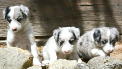 Miniature Aussie Puppies!
