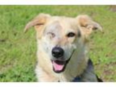 Adopt Emma a Tan/Yellow/Fawn - with Black Golden Retriever / German Shepherd Dog