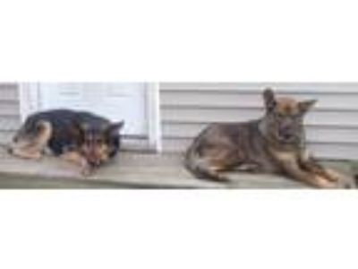 Adopt Princess and Queenie a Black - with Tan, Yellow or Fawn German Shepherd