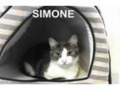 Adopt Simone a Gray or Blue (Mostly) Domestic Mediumhair (medium coat) cat in