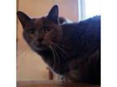 Adopt Smokey a Russian Blue
