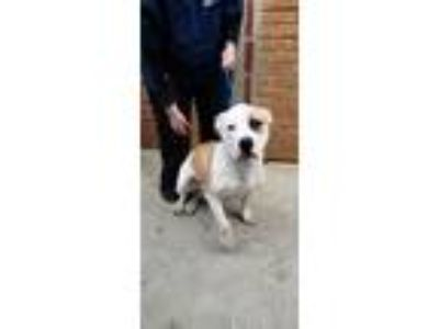 Adopt Luckie a White - with Red, Golden, Orange or Chestnut Pit Bull Terrier /