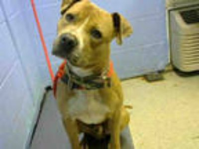 Adopt SAUCEY a Tan/Yellow/Fawn - with White American Pit Bull Terrier / Mixed