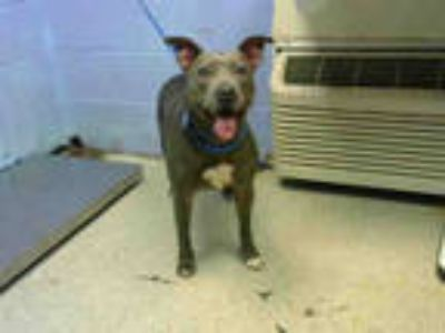 Adopt CUPCAKE a Gray/Silver/Salt & Pepper - with White American Pit Bull Terrier