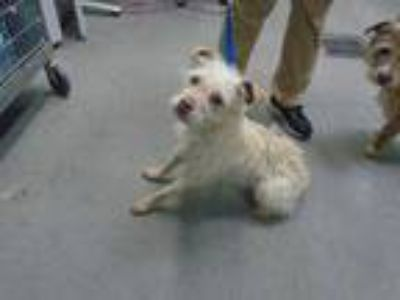Adopt CHANTILLY a White Fox Terrier (Toy) / Mixed dog in Fairfield