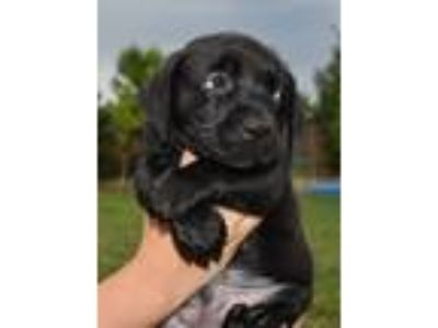 Adopt Mama Aspen Puppy - Bennet a Labrador Retriever dog in Sheridan