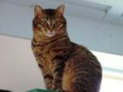 Adopt Cobra a Domestic Short Hair