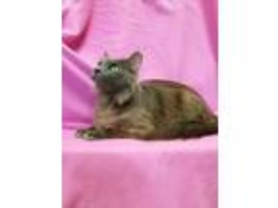 Adopt Sophie a Gray or Blue Domestic Mediumhair (medium coat) cat in Watauga