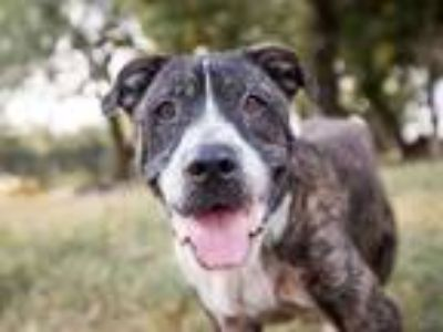 Adopt CHINO a Brindle - with White Boxer / Shar Pei / Mixed dog in Austin
